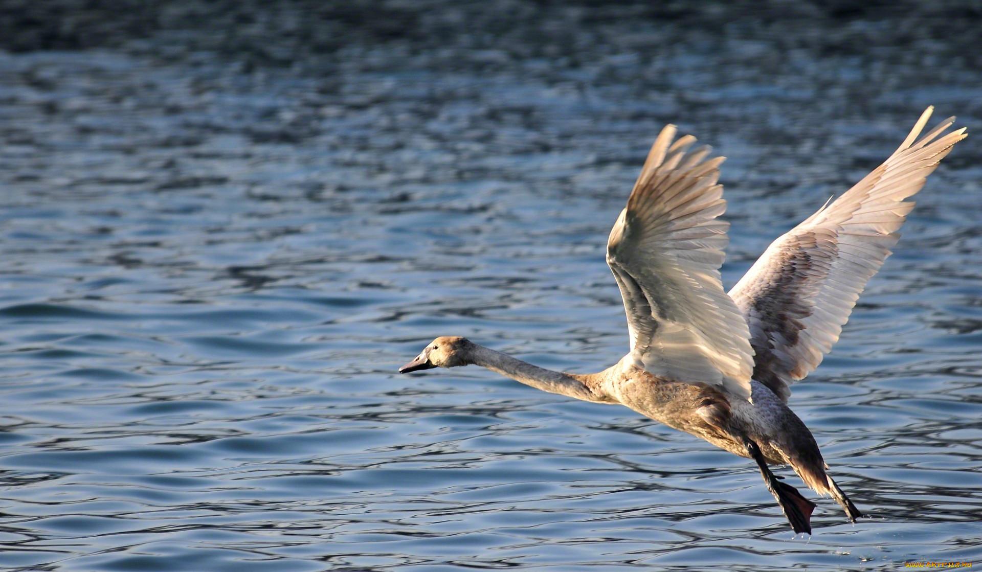 животные, лебеди, вода, полет, лебедь